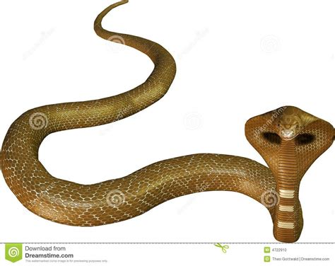 Light Brown Snake by Light Brown Cobra Snake Stock Photo Image 4722910
