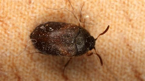 carpet beetles in bed bed bug imposters how to identify bed bugs
