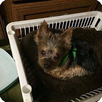 wren yorkie rescue oakland oakland ca yorkie terrier meet fergie a for adoption
