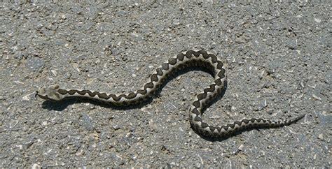 Garden Viper Snake Don T Mess With Me Viper Vipera Ammodytes