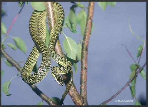 serpente volante serpente volante ornato