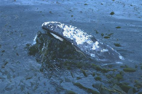 gray whales migration