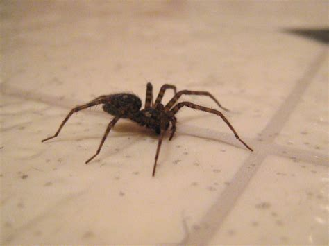 spider in bathroom file bathroom spider jpg wikimedia commons