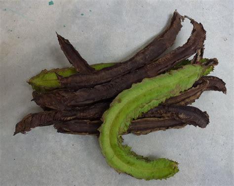 Benih Daun Salam greenfingers ada benih di balik daun