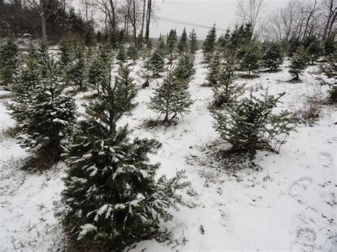 nutbrown s christmas tree farm tradition continues
