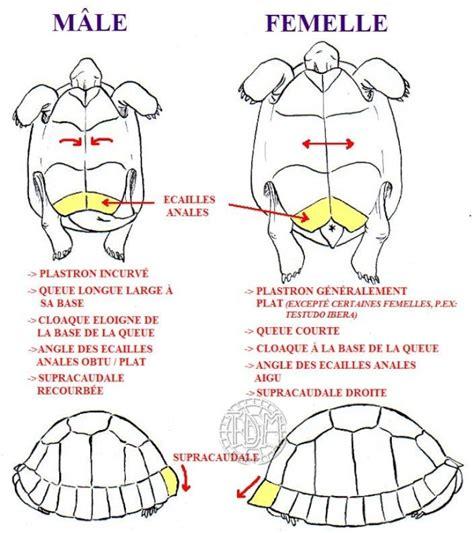 cote de texas male vs female it s a size thing diff 233 rence entre m 226 le et femelle our babies pinterest