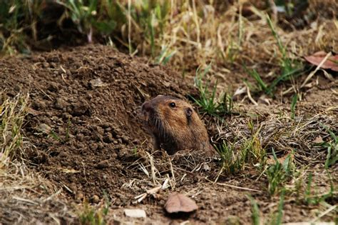 Gopher In Backyard by How To Get Rid Of Garden Moles Gophers