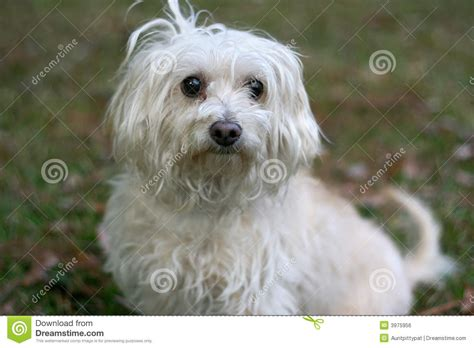 scruffy puppy scruffy royalty free stock image image 3975956