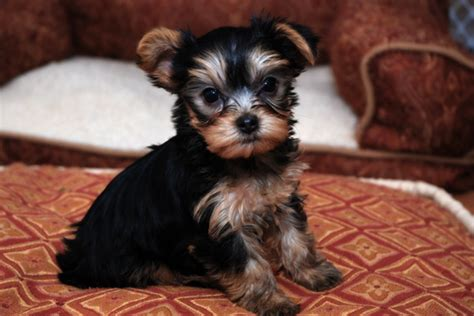 yorkies for sale seattle yorkie puppies ready to go seattle dogs for sale puppies for sale seattle 442066