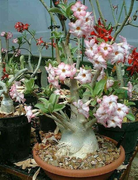jual bibit benih bunga hias adenium arabicum 4 jenis mudah tumbuh di lapak devata seeds