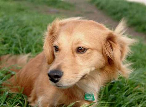 golden retriever weiner mix golden dox golden retriever dachshund mix