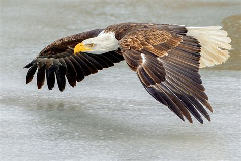 comfort eagle meaning file bald eagle flying over ice southern ontario canada