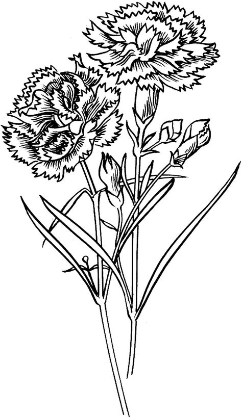 Carnation Flowers Coloring Pages Printable Free For