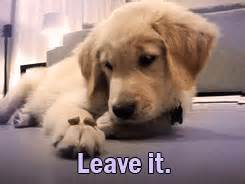golden retriever puppy gif golden retriever gif find on giphy