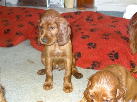 setter puppies for sale kc reg setter puppies for sale dukinfield greater manchester pets4homes