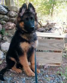 king german shepherd puppies 25 best king shepherd ideas on king german shepherd shepherd puppies and