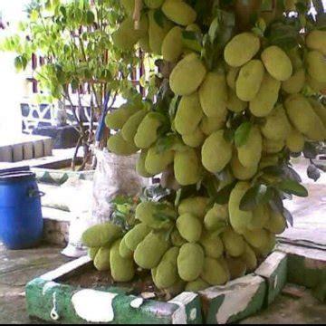 Harga Bibit Nangkadak jual beli bibit nangkadak rasa durian baru aneka bibit
