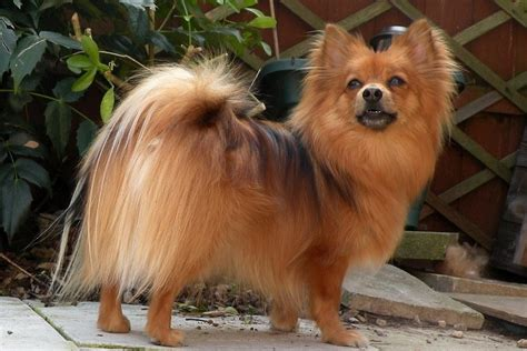 how much is pomeranian how much does a pomeranian cost in 2017 thehappypooch