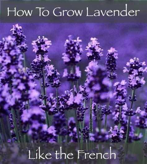 how to grow lavender like the french homestead survival