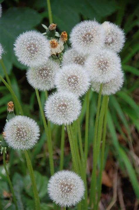 dente di fiore foto gratis dente di fiore fiore ha immagine