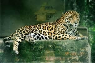 Jaguar Mammal El Mundo Animal Felinos Genero Panthera Le 211 N Leopardo