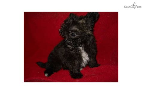 7 lb pomeranian pomeranian 3 to 7 lb picture and price breeds picture