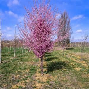 okame cherry halka nurseries