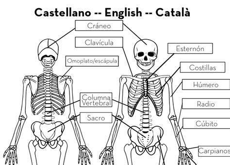 imagenes educativas del cuerpo humano esqueleto tama 241 o real imprimible gratis para hacer