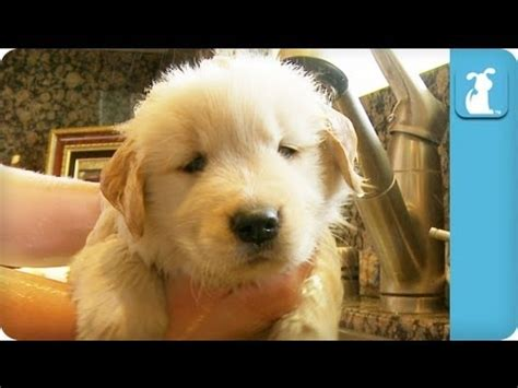 how to bathe a golden retriever golden retriever puppy taking a bath dogs