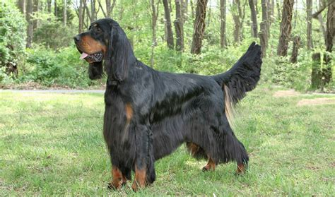 gordon settee gordon setter top dog breeds dog breeds picture