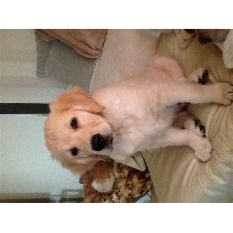 golden retriever puppies for sale in wiltshire murprila in amesbury salisbury wiltshire