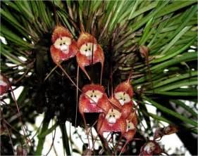 monkey orchid bei 223 en gedanken the amazing monkey orchid
