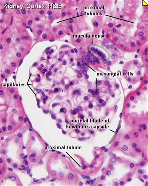 histology hacks books renal system histology embryology