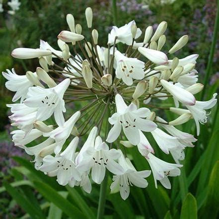 agapanthus tall white  pot   plants garden