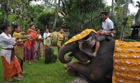 Tumpek Kandang Buku Bali Hindu tumpek kandang on 30th april 2016 puri dewa bharata hotels villas