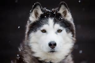 husky face dog cute eyes