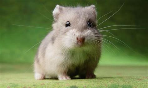 X Bamester 2048 Hamster