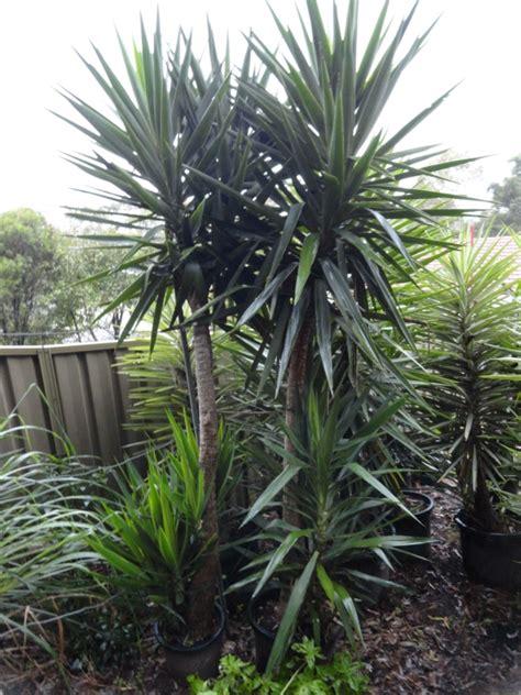 yucca palme für draußen yucca palme 26 fantastische bilder zur inspiration