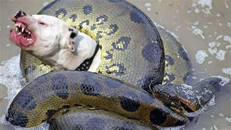 snake eats puppy anaconda snake vs real fight hoax or not