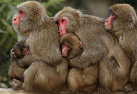 Snow monkeys know how to deal with the cold