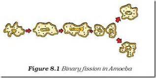 diagram of binary fission in amoeba with the help of diagram show the different stages of