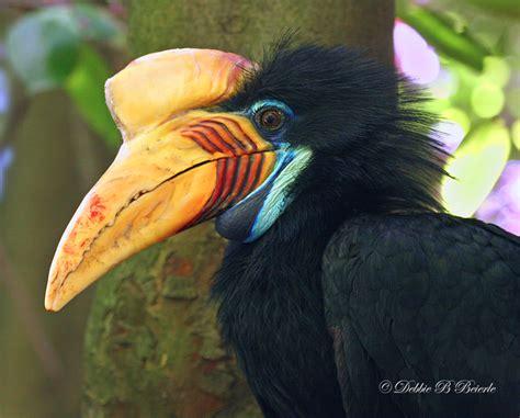 knobbed hornbill photo debbie blackburn beierle