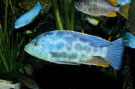 Poisson Dormeur by Dormeur Nimbochromis Livingstonii Haplochrominiens