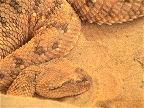 israeli reptiles
