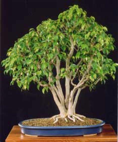 Jahe Flamboyan ficus benjamin zum bonsai umgestalten bonsai forum de