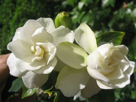 Gardenia Comforts by 17 Best Images About Gardenias On Shabby Chic Decor Flower And Fragrance