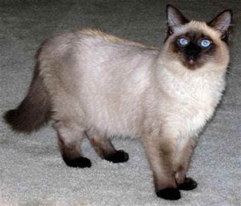 Cats With Minimal Shedding by Balinese Wwwhttps1