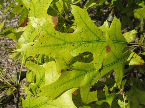 Deficiency Diseases In Plants - iron chlorosis