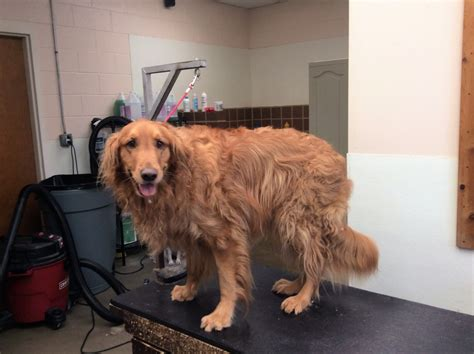 golden retriever feathers grooming photo library pet motel and salon