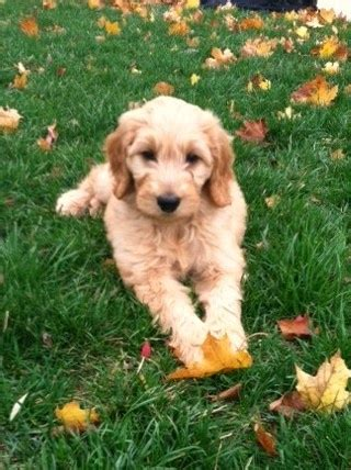 goldendoodle puppy feeding 18 best images about i goldendoodles on